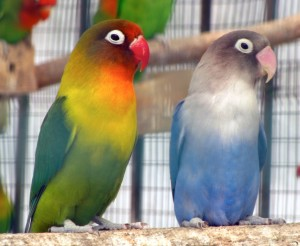 Agapornis_genus_-8-lovebirds_in_aviary