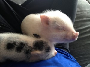 mini-pigs-sleeping